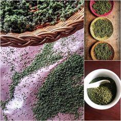 Nettle Seed & Dandelion Blossom Bars: Superfood! – Gather Victoria Dragon Boat, Energy Bars, Superfood, Dandelion, Succulents, Seeds, Plants, Victoria, Recipes