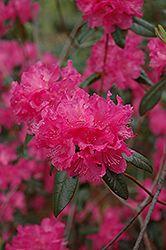 Landmark Rhododendron (Rhododendron 'Landmark') at Chalet Nursery