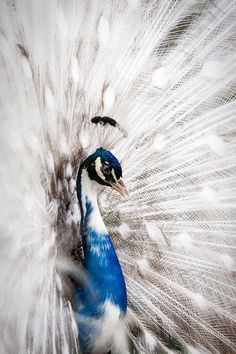 White Peacock Peacock is one of the most beautiful birds in the world, where… Beautiful Creatures, Animals Beautiful, Animals And Pets, Cute Animals, Exotic Animals, Cool Pictures, Cool Photos, Peacock Images, Most Beautiful Birds