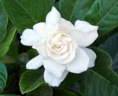 The evergreen Gardenia.As for the Gardenia flowers they are eaten raw, pickled or preserved in honey. The fruits are also edible and used as yellow coloring for other fruits. Gardenias, Gardenia Bush, White Gardenia, Florida Plants, Florida Gardening, Florida Flowers, Snow In Summer, Parts Of A Flower, Plant Health