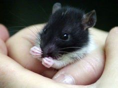 Baby rat. We have 2 girls who look exactly like this. Never thought I would be so enamored with a rodent.