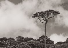 View of a large, single sea pine on the beach near Sea Pines Resort; Hilton Head Island, SC