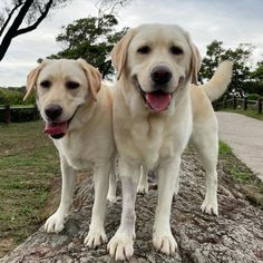 Baby Dogs, Doggies, Dogs And Puppies, Animals Of The World, Animals And Pets, Cute Animals, Labrador Retrievers, Cute Creatures, Working Dogs