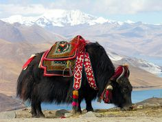 Yak near Yamdrok lake, Tibet. In Tibet, yaks are decorated and honored by the families they are part of. Yaks are found in the Himalayas, the Tibetan Plateau, and as far north as Mongolia and Russia. They are an integral part of Tibetan life. Le Tibet, Monte Everest, Tier Fotos, Mundo Animal, Alpacas, Central Asia, Animals Beautiful, Majestic Animals, Wonders Of The World