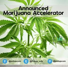 #Marijuana #accelerator #Potup