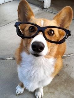 Another dog with glasses. This time it's a corgi. Cute Puppies, Cute Dogs, Dogs And Puppies, Bear Dogs, Funny Dogs, Wiener Dogs, Corgi Husky, Corgi Meme, Funny Animals