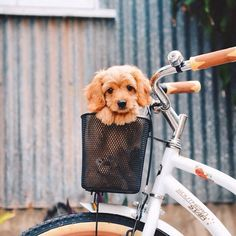 This dog in a bike is too cute to handle! We love this shot! How could you not, it is a puppy in a basket!