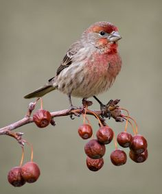 Red Finch Red finch on crab apple by