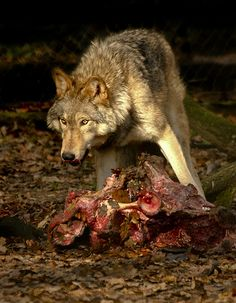 The Wolf's Meal