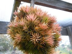Tillandsia Pictures • Wholesale Tillandsias