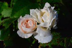 Pieni Charles Albanel  ruusu