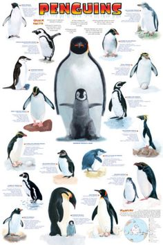 Penguins Animal Infographic Poster : A great infographic poster of those little tuxedo wearing Arctic birds Penguins! Packed with pictures and facts. Perfect for classrooms and Eskimos! Need Po Penguins Ani Artic Animals, Penguin Animals, Penguin Love, Penguin Craft, Facts For Kids, Fun Facts, Penguin Facts, Penguins And Polar Bears, Types Of Penguins