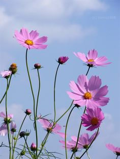 (disambiguation) Cosmos generally refers to an orderly or harmonious system. Cosmos or Kosmos may also refer to: Cosmos Flowers, Flowers Nature, Spring Flowers, Wild Flowers, Unusual Flowers, Pretty Flowers, Flower Backgrounds, Flower Wallpaper, What Is Cosmos