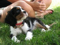 One thing that all club members agreed upon from the start was that the Cavalier King Charles Spaniels could be kept as natural as you possibly can and trimming and shaping of the dog for the show ring could be discouraged.