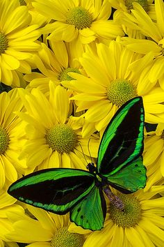 Green Butterfly On Yellow Mums by Garry Gay - Lovely butterfly. Most Beautiful Butterfly, Beautiful Bugs, Beautiful Flowers, Butterfly Painting, Butterfly Wallpaper, Green Butterfly, Butterfly Flowers, Beautiful Creatures, Animals Beautiful