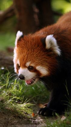 animal-wallpaper-images-animal-panda