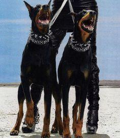 a girl is a gun: Photo Black Doberman, Doberman Love, Animals And Pets, Cute Animals, Doberman Pinscher Dog, Mans Best Friend, Boston Terrier, Bull Terriers, Cute Dogs