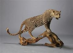 mounted leopard and ape; shot in zimbabwe; how is it possible to buy this so easy on this site...?