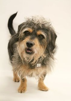 lily pad yorkshire terrier yorkie � adult � female
