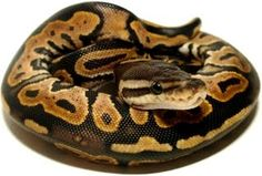 Ball Python, and then there were two!
