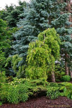 My favorite Pinus strobus 'Pendula' amongst the several living throughout the gardens   Conrad Art Glass & Gardens