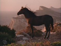 Cass Ole - The Black Stallion