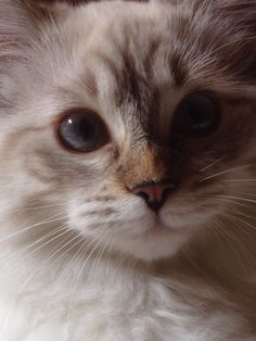 Agata, a cute ragdoll. In her eyes, an ancient world of undiscovered lifes