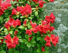 PlantFiles: Picture #3 of Dwarf Rhododendron 'Scarlet Wonder ...