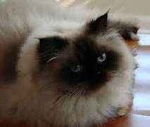 Gallery For > Chocolate Point Himalayan Cat