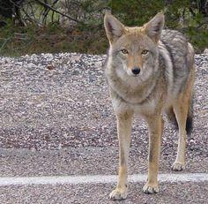 Urban Coyotes: Out Of Control In Colorado Community  ... #pets #animals ... PetsLady.com