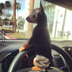 #Doberman #pup