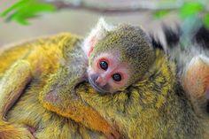 Photo baby squirrel monkey (Totenkopfäffchen) by Tobias de Haan on 500px