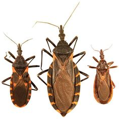 [Texas A&M Agriculture & Life Sciences] [Texas A&M Veterinary Medicine & Biomedical Sciences] KISSING BUGS & CHAGAS DISEASE IN THE UNITED STATES