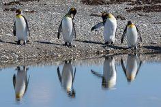 Königspinguine - Feuerland Penguins, Patagonia, Argentina, Explore, Viajes, Penguin