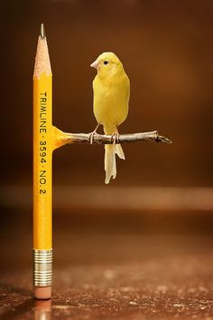 This photoshop is partly effective because there is not much to it. There is the pencil standing up straight then a simple perch is added with not a lot of blending of yellow and brown Photomontage, Creative Photography, Art Photography, Photography Editing, Inspiring Photography, Photography Tutorials, Digital Photography, Cs6 Photoshop, Affinity Photo