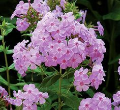 Phlox (Phlox paniculata), perennial, very fragrant flower, cut flowers, attracts butterflies & bees, drought tolerant, if full sun, about 3' tall, if partial shade about 4' tall, says no to zone 9, but baby - you should see mine! Only problem I have is it sends up shoots.