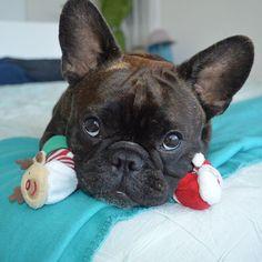 """I can't choose between Rudolph and Santa..... can I have'em both?"", French Bulldog Puppy at Christmas."