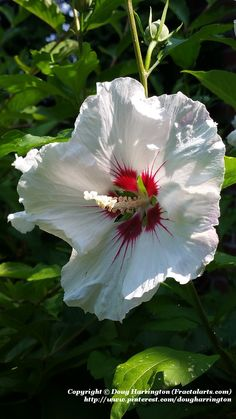 Hibiscus 'Althea' in my garden. These are great shrubs that start to bloom at this time of year. Hardy down to about Zone 5. This one is about 6 feet high by about 3 feet wide. Very large, showy flowers. Can be pruned to keep smaller depending on space available.