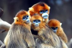 Golden Snub-nosed monkeys. They hide when it rains as the water drips into their nostrils and makes them sneeze.