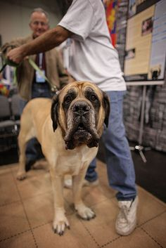 Mastiff....lol. Take that camera out of...wait is that bacon you have there?