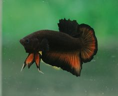 Black and Orange Plakat Betta (by Aquastar71)