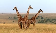 Some Giraffes May Be Closer To Extinction Than You Realize