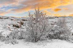 Iceland Snowy Bush