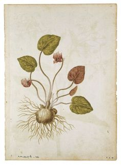 Cyclamen and Borage Le Moyne de Morgues, Jacques, born 1533 - died 1588 Botanical Illustration, Botanical Prints, Present Drawing, Artist Materials, Painter Artist, Renaissance, Gold Background, French Artists, Light In The Dark