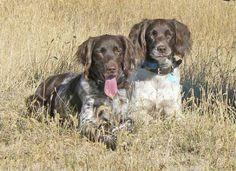 Small Munsterlander Pointer Dog Breed Information - American Kennel Club