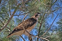 Beautiful Red-tailed Hawk: See more images at http://robert-bales.artistwebsites.com/