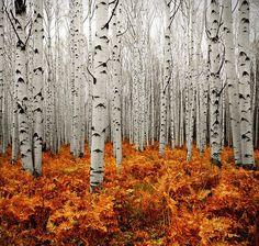 Birch and braken fern