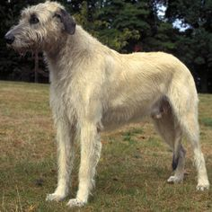 Irish Wolfhound - The Irish Wolfhound is a paradox. Behind its powerful and commanding appearance is the gentlest of dogs, extremely fond of children yet courageous in the commission of any tasks.