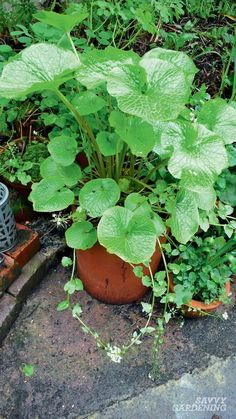 Growing wasabi and horseradish at home is a wonderful adventure, and it's not as difficult as you think. Learn how to cultivate both of these crops in this article from the amazing book Grow Your Own Spices by Tasha Greer. #gardening #foodgardening Horseradish Plant, Growing Horseradish, Vegetable Garden Design, Garden Tools, Vegetable Gardening, Organic Gardening, Gardening Tips, Plant Diseases, Plant Care
