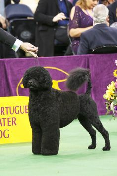 This Portuguese Water Dog, who's party in the front and ALL business in the back.